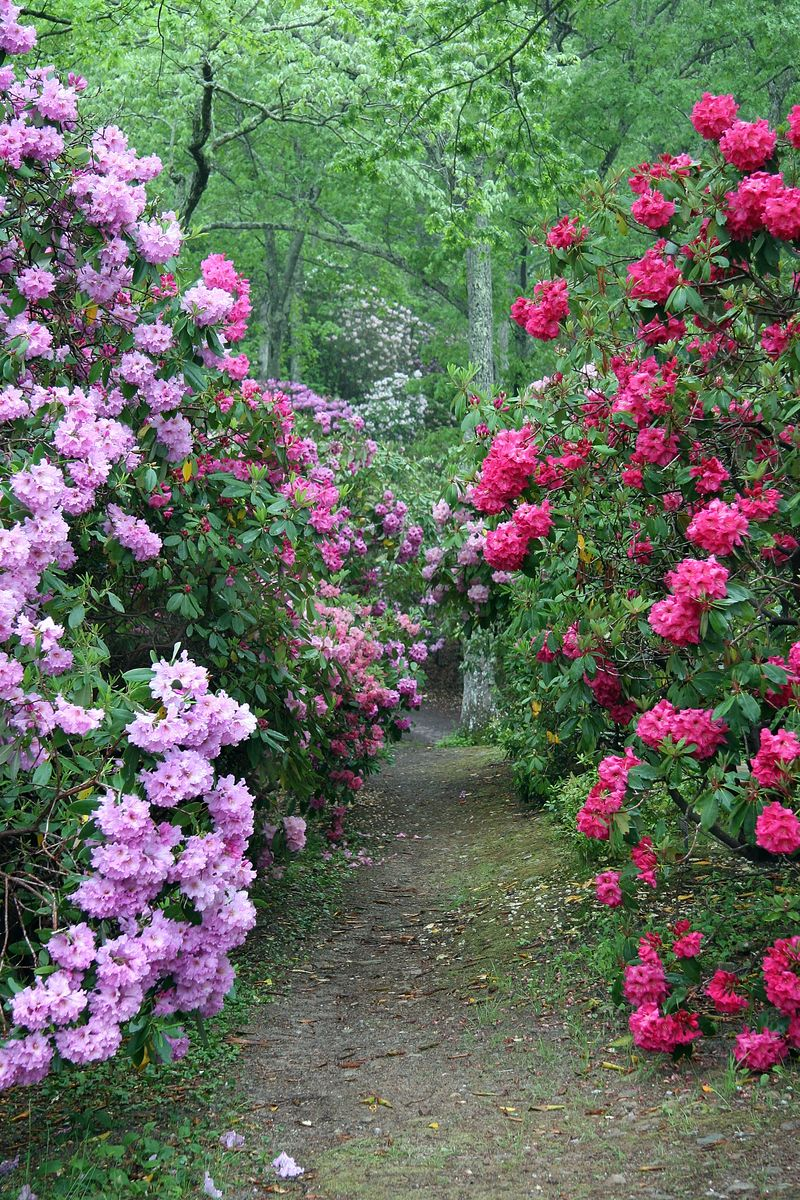 Rhodies_path