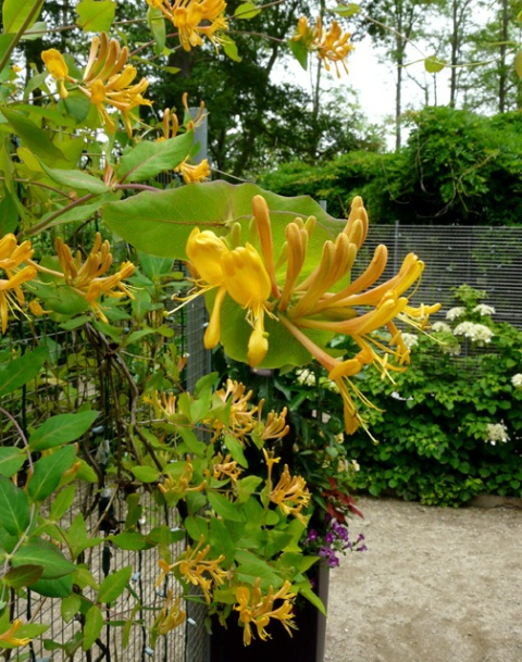 June 20 golden flame honeysuckle 1 sm